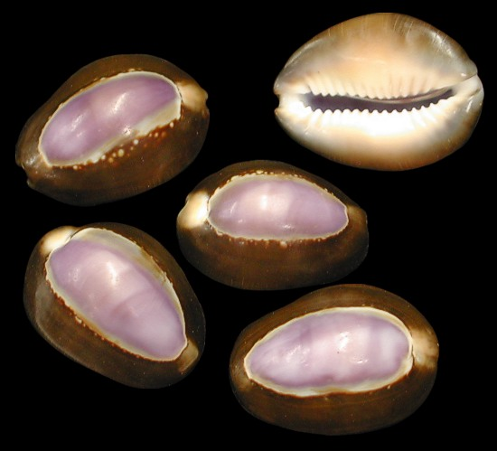 Purple Top Cowry Medium   10/8/13
