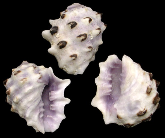 Purple Drupe Shells