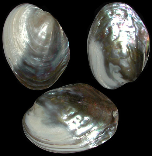 Rainbow Mussels Pairs Polished