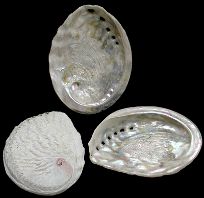 Ruff Baby Abalone 1/13/13