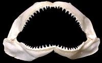 Shark Jaw Preserved  1/16/13