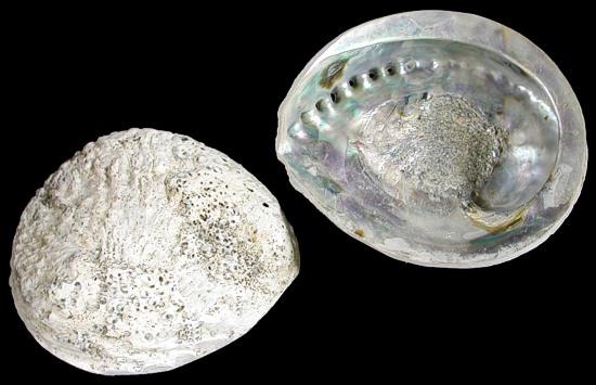 Silver Ruff Back Abalone