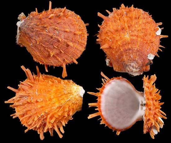 Spondylus Ducallis Oyster