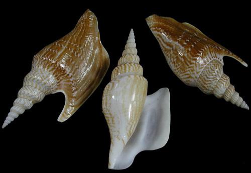 Strombus Listeri Shell