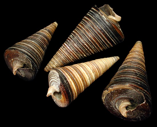 Telescope Snails