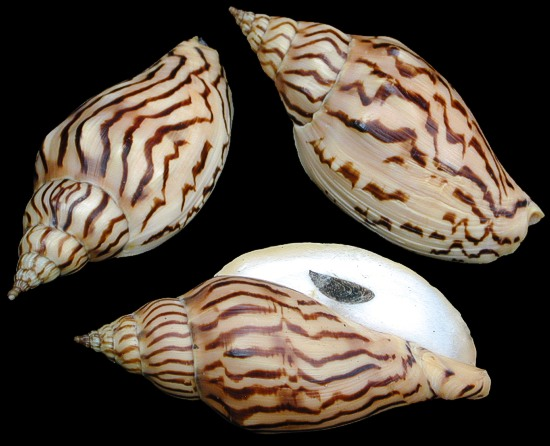 Voluta Loroisi Shell