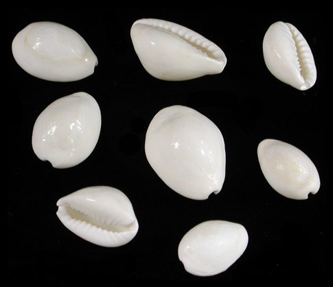 White Cowries   10/8/13