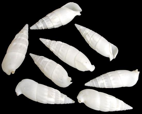 White Cerithiums  9/27/13