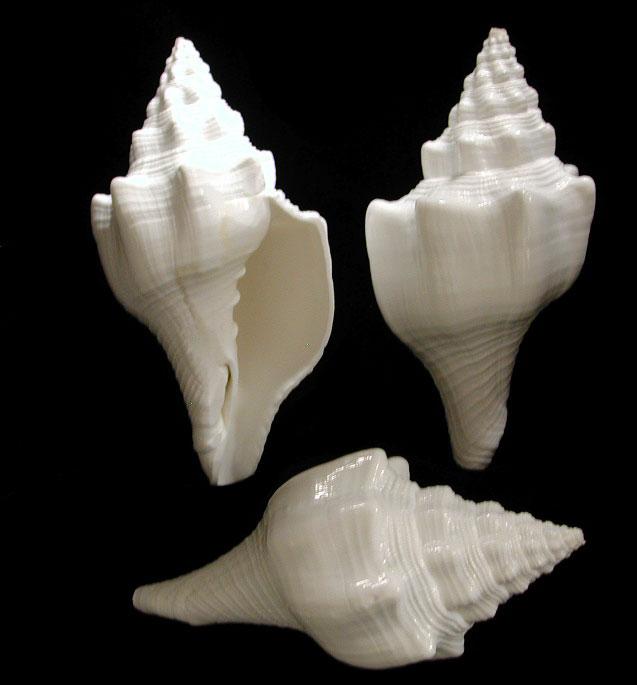 White Chank Shell