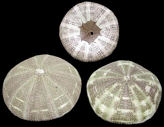 Alfonso green sea urchins