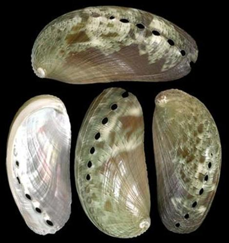 Baby Green Abalones