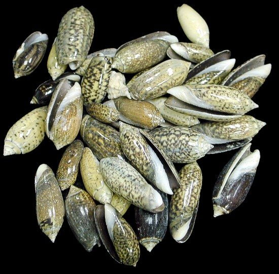 Baby Olive Shells
