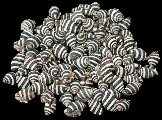 Bee Hive Snail Shells