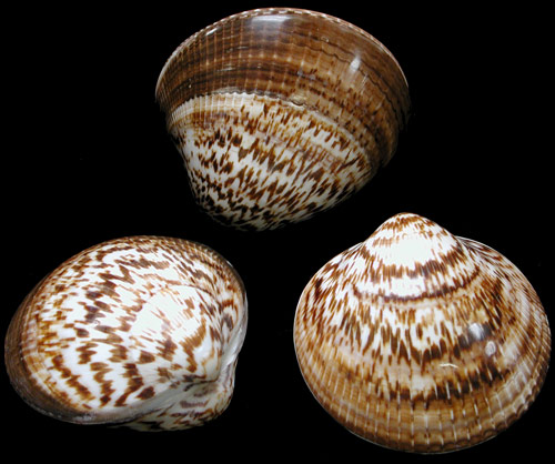 Bittersweet Polished Clam Pairs   9/27/13