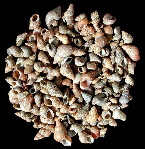 Brown Melissas Shells