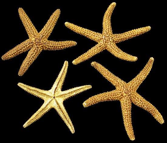 Brown Star Fish