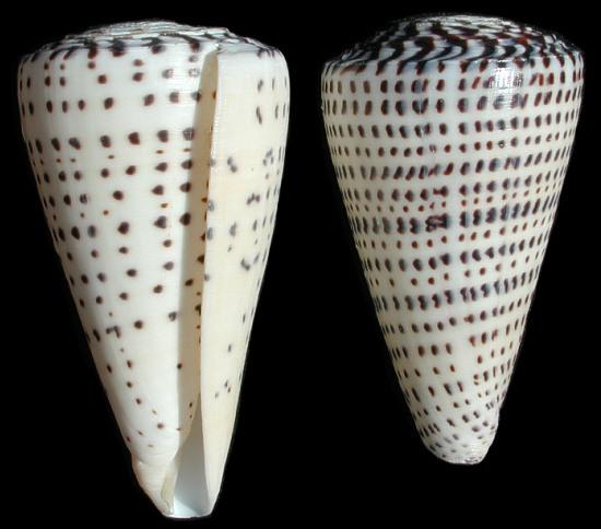 Conus Leopardus   9/29/13