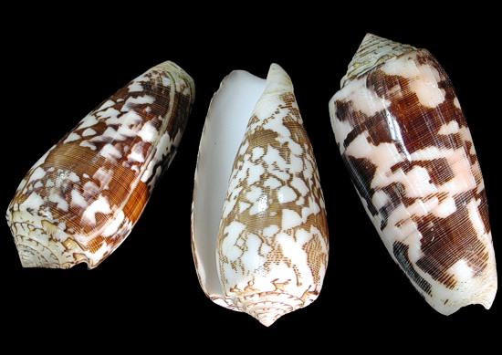 Conus Striatus   9/29/13