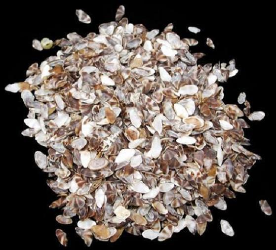 Coquina Shell Brown White