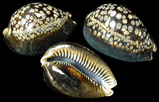 Cyprea Mauritiana Shell   10/11/13