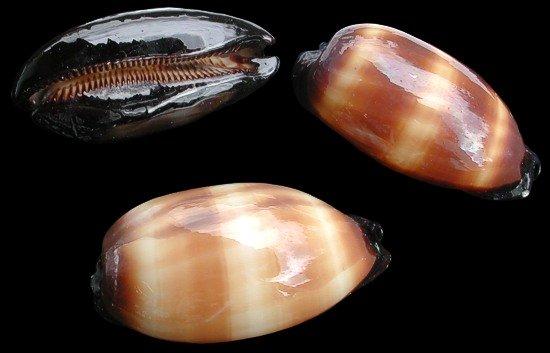 Cyprea Talpa Shell   10/11/13