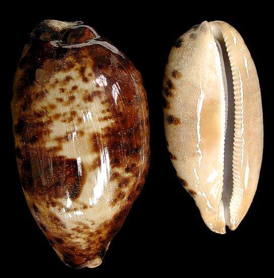 Cyprea Testudinaria shell   10/11/13