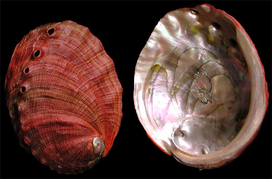Deep Red Abalone DR1-1