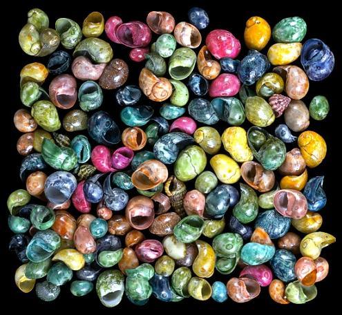 Dyed Littorina shells   10/22/13
