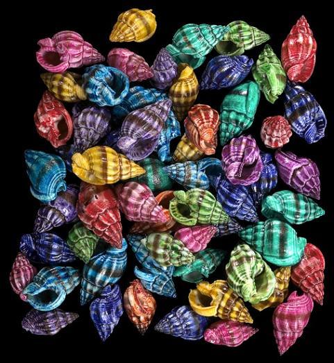 Dyed Nassa Phyrus Shells   10/22/13