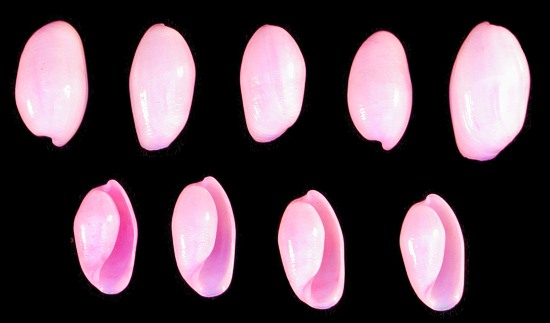 Dyed Pink Bullets   10/22/13