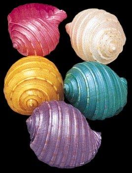Dyed Tessalata Shells 1   10/22/13