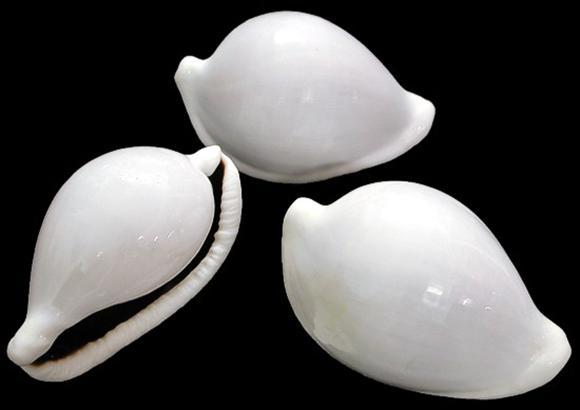 Cowrie Egg Shell   10/8/13