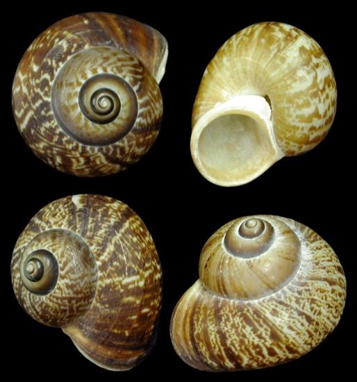 Fernandezi Snail Shells