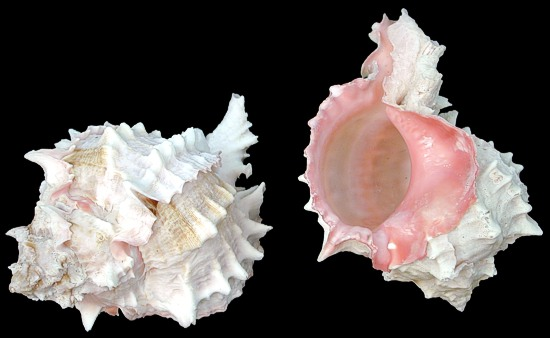 Pink Throat Murex  1/1/13