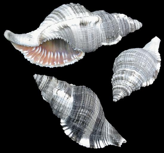 Hairy Triton Shell   10/24/13
