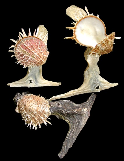 Hammer Head Oyster