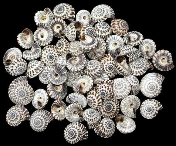 Heliacus Snail Shell .09 ea R2-7