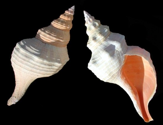 Horse Conch T1-5