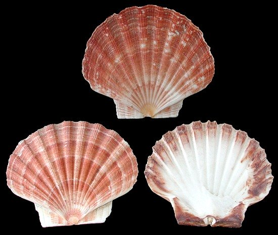 Irish Flat Scallops