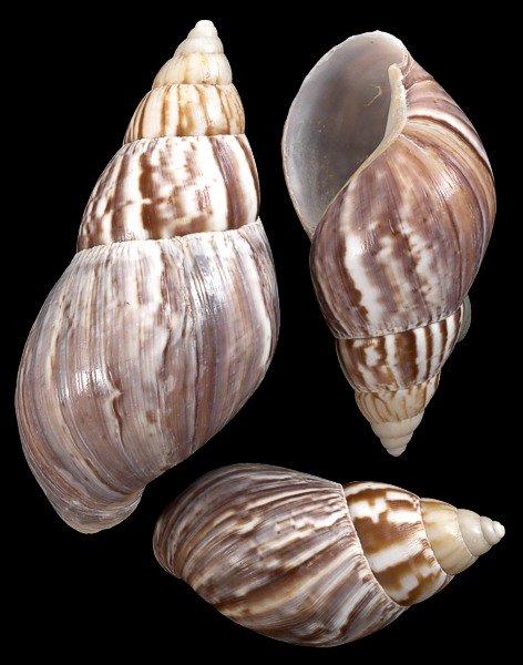 Japanese Land Snail