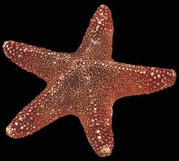 Jungle Starfish