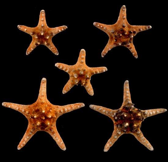 Knobby Starfish  1/16/13