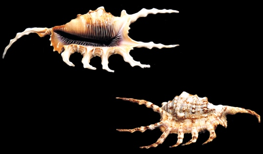 Lambis Scorpio Conch