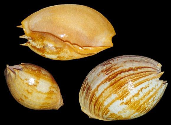 Melo Umbilicatus