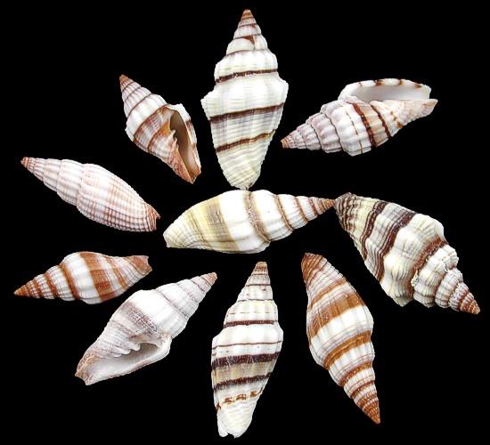 Mitre Shells