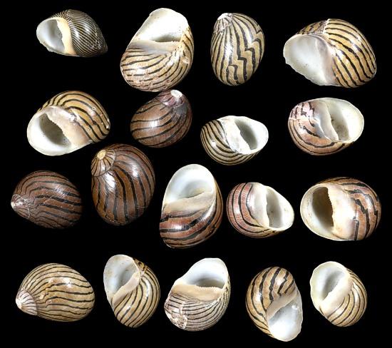 Mixed Nerita Columbella