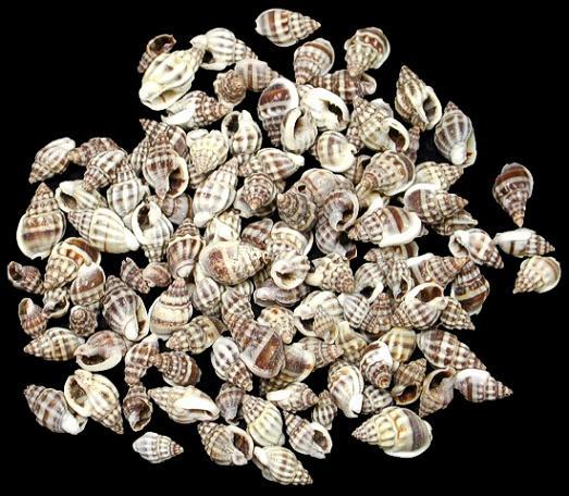 Nassa Persica Shells