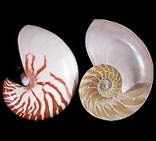 Nautilus Tiger shell center cut