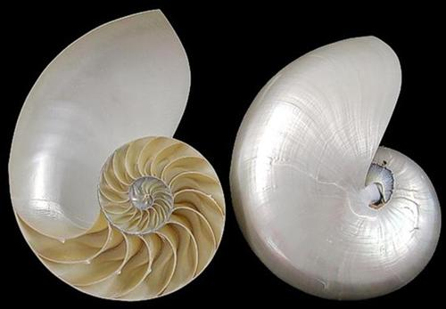 Pearl Nautilus shell center cut  G1-5