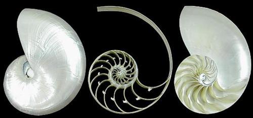 Pearl Nautilus Shell tri cut  04-6